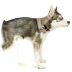 puppy-peeing 150x150